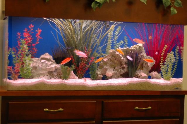 Cichlid Aquarium Design Cichlid aquarium in business